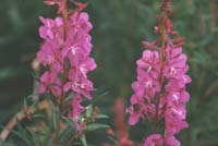 Fireweed, a common flower that lights up the Alaskan countryside in summer